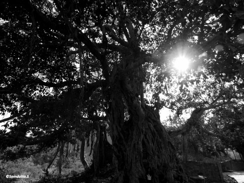 Ancient banyan tree at the Fort compund