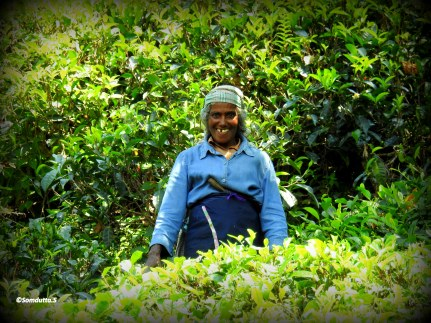 A Sri Lankan in the tea garden